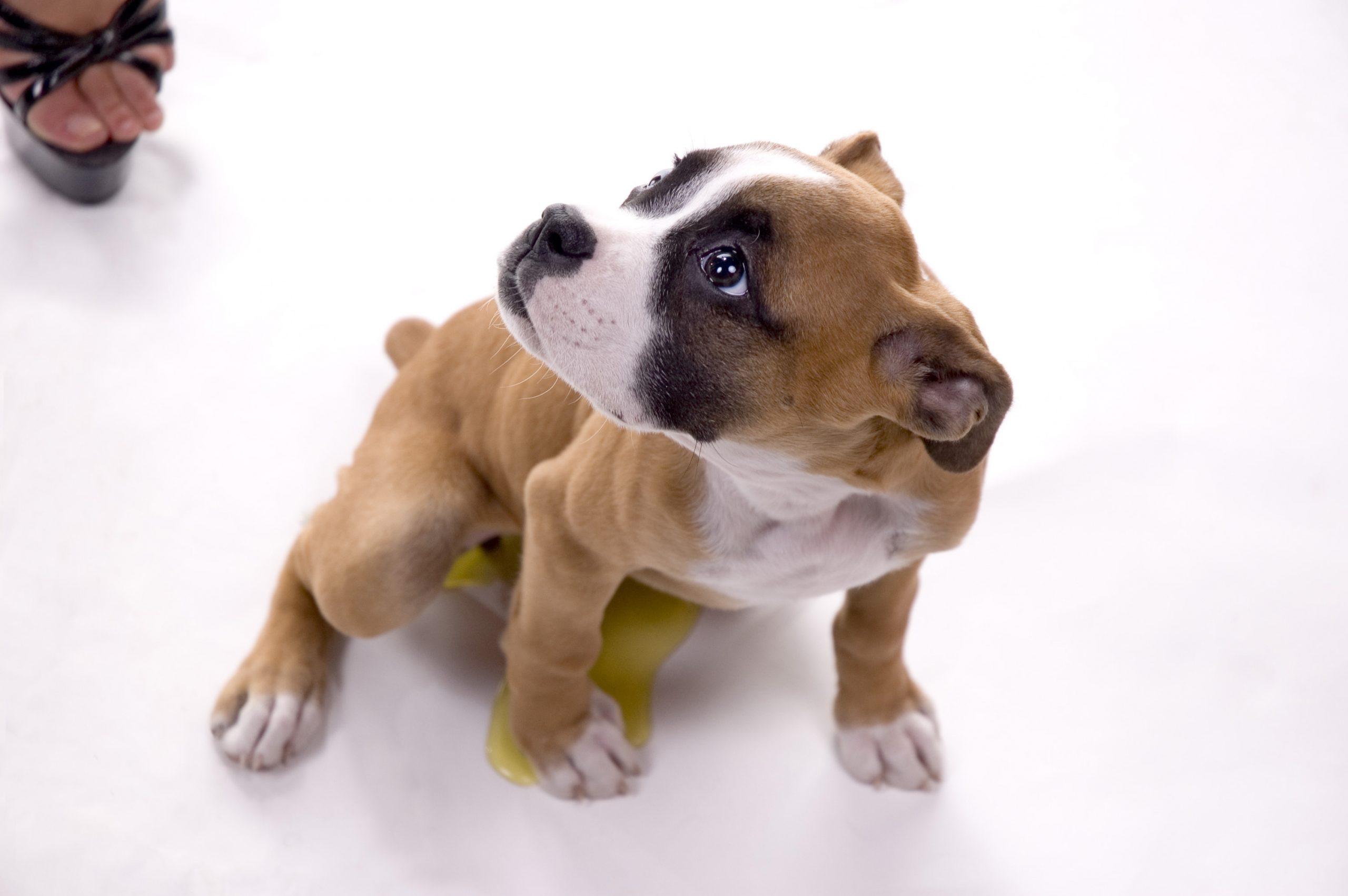 Submissing dog pee